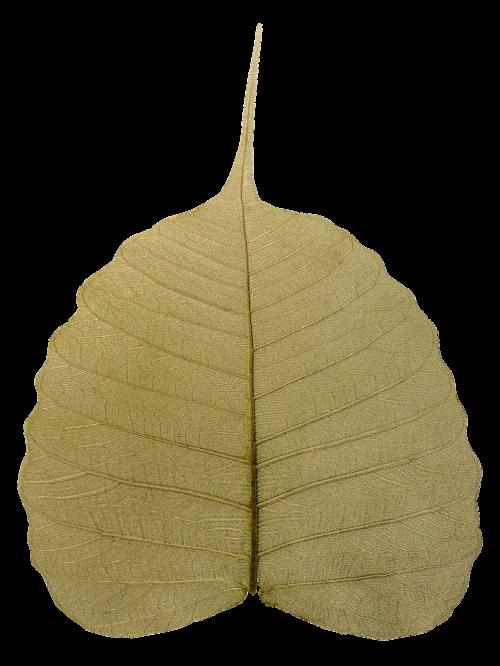 bodhi leaf wilted