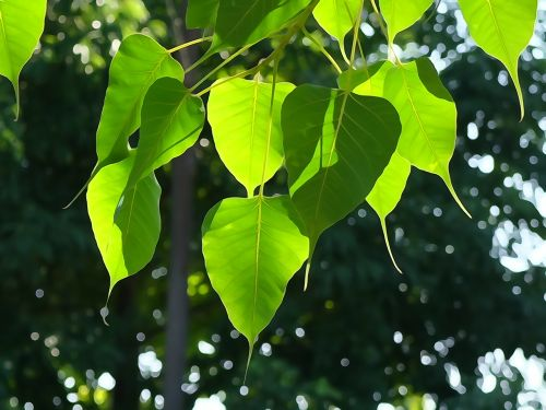 bodhi leaf tree leaf green