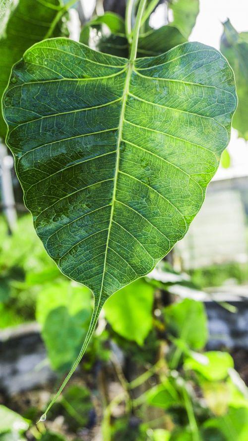 bodhi leaf awakening awake-ness