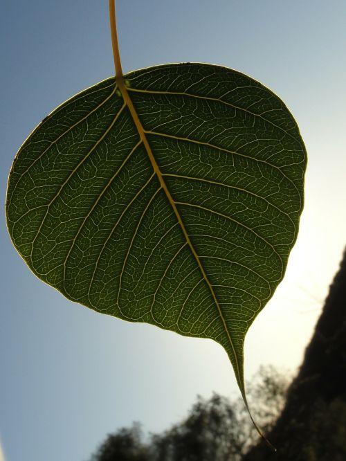 bodhi leaf green leaf leaf