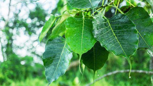 bodhi leaves dewdrop on leaves dew