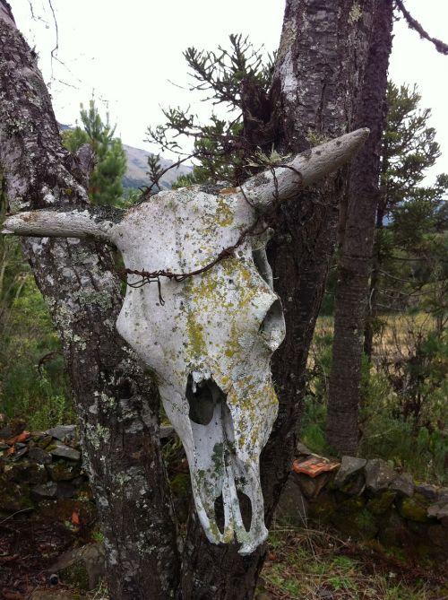 boi ox head skull