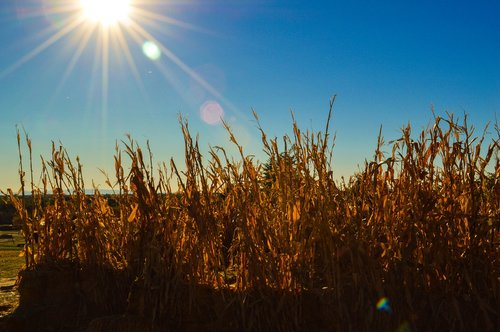 boise botanical garden  corn  corn field