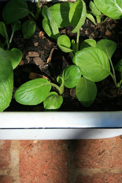 Bokchoi Planted In Enamel Bath
