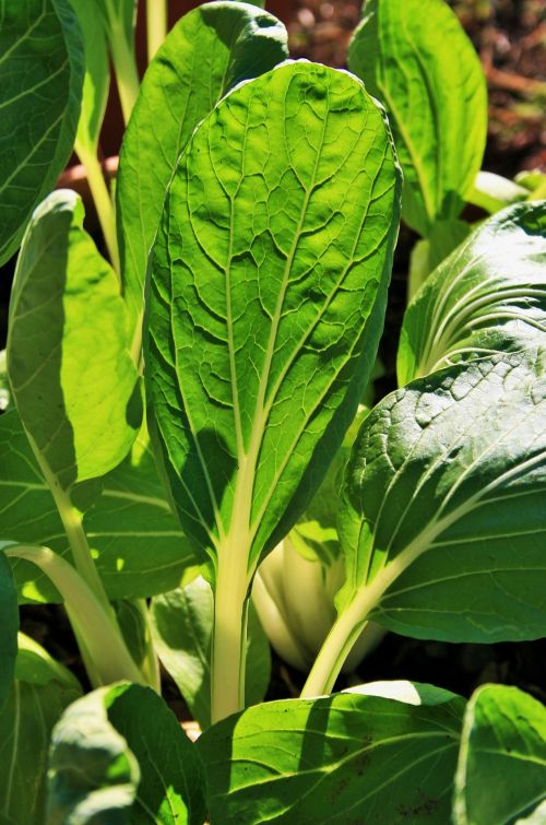 Bokchoy Leaves With Light