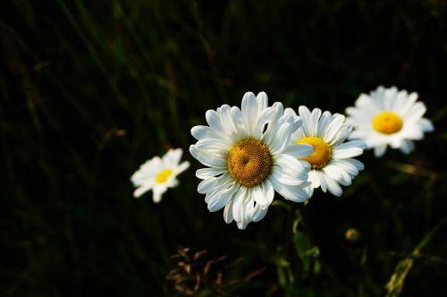 Bokeh,gėlės,makrofotografija