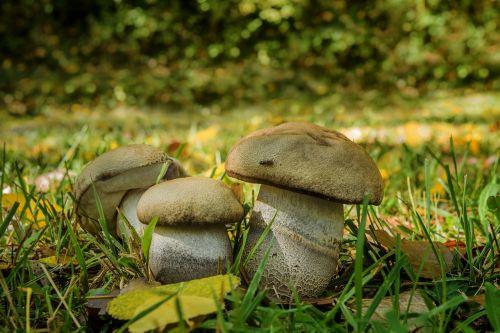 fungus bolet of poplars food duriusculum f
