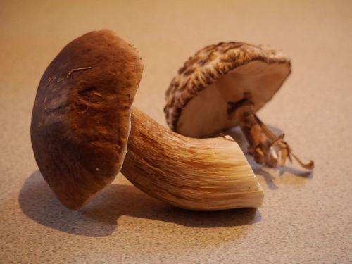 bolete mushroom fungi