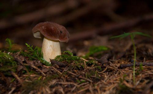 boletus fungus forest