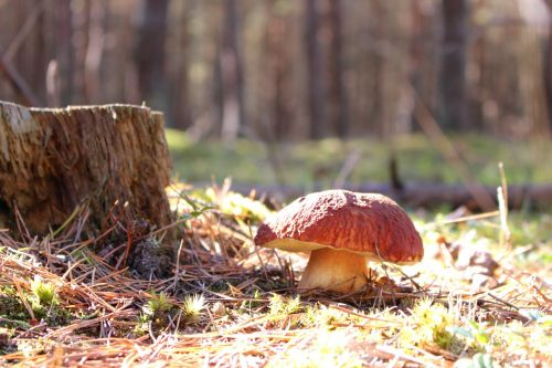 boletus boletus edulis mushroom