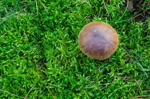 boletus-boletus chestnut mushroom