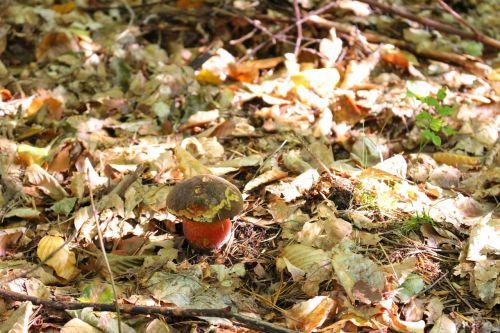 boletus erythropus mushroom mushrooms
