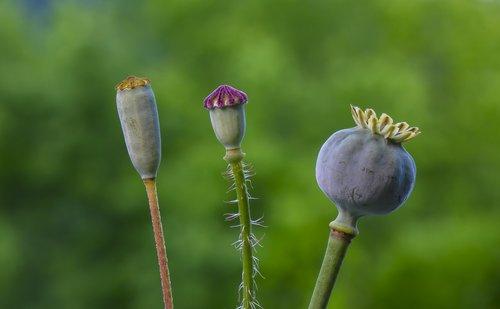 boll  poppy  poppy seed capsule