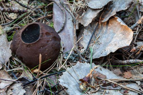 bomb false morel sarcosoma globosum rare mushroom