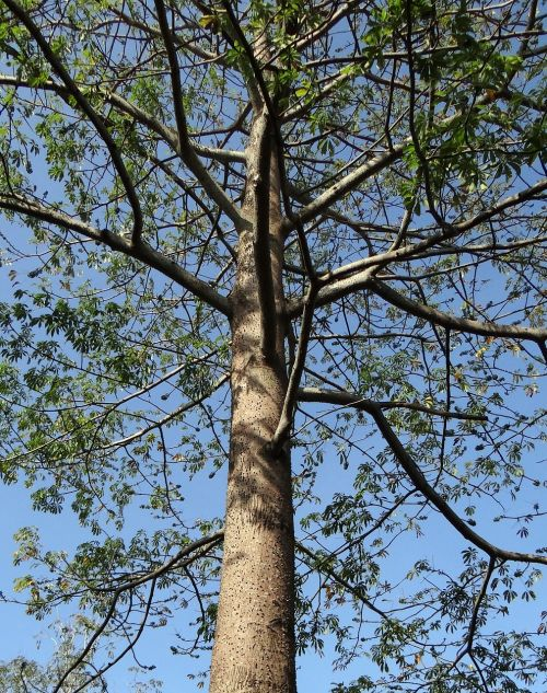 bombax ceiba,shimul,šilko medvilnė,medis,Hubli,Indija