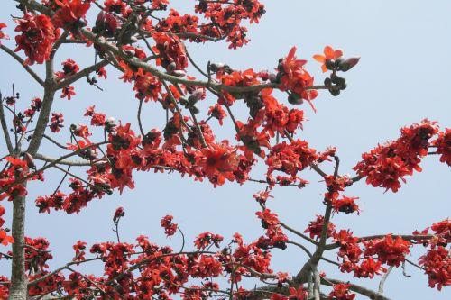 bombax ceiba silk cotton flower
