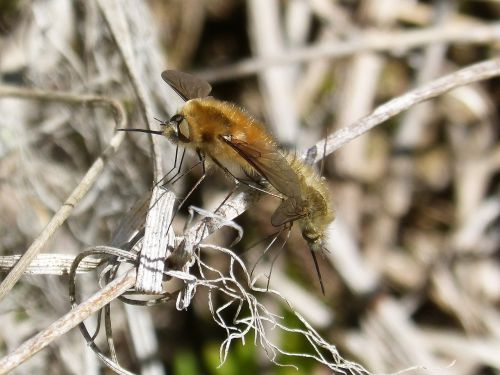 bombus bombus pascuorum insect breeding