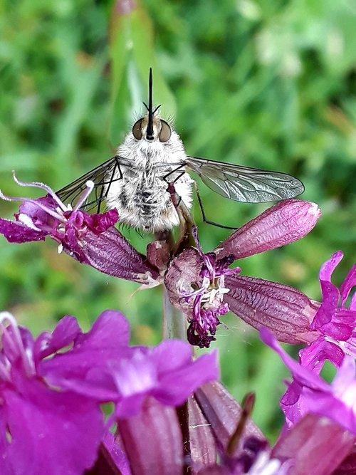 bombyliidae  hummelfliege  great