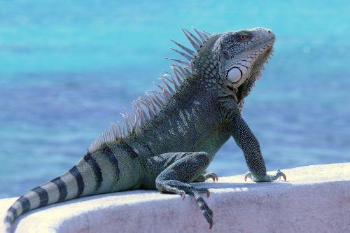bonaire iguana reptile