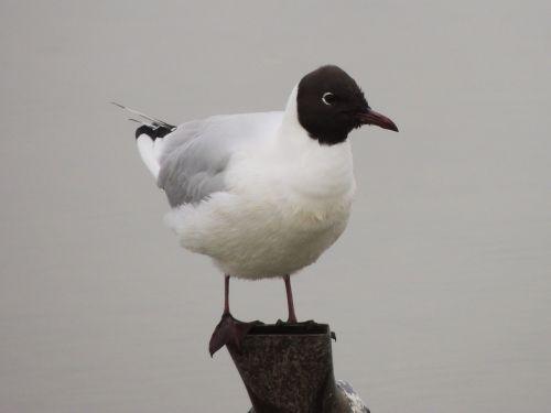 bonaparte's gull gull bird