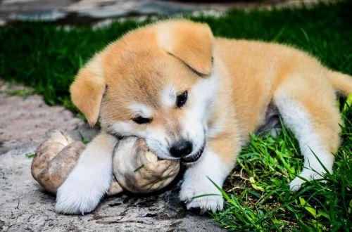bone cachorra female