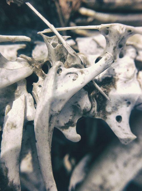 bone bones skeleton