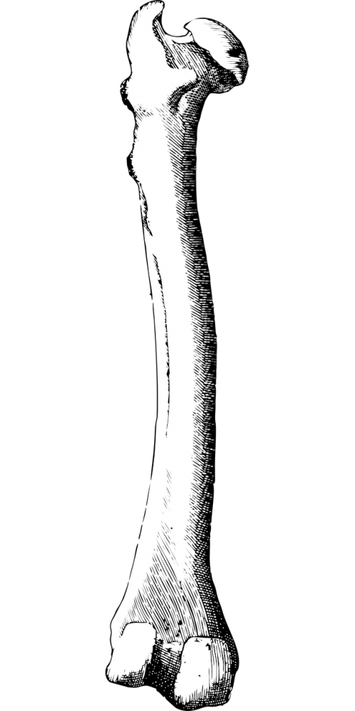 bone leg bone femur