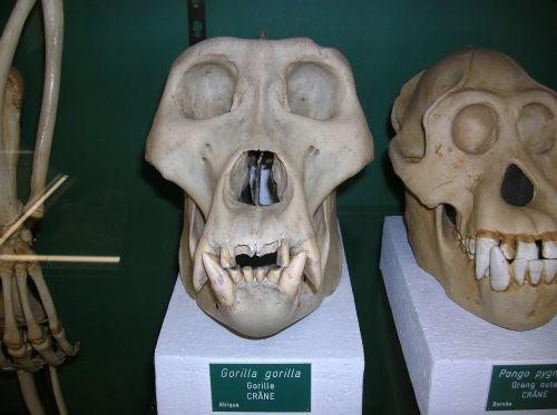 bone skull anatomy