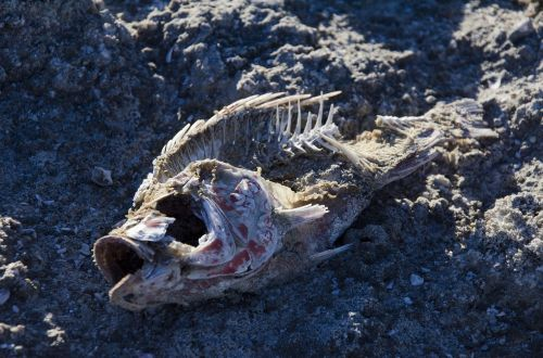 bones fish dead