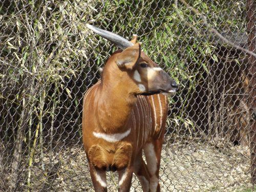 bongo zoo animal