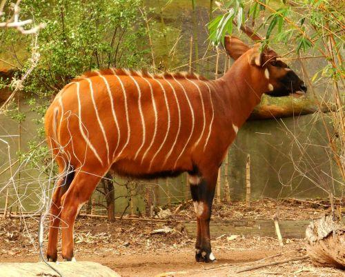 bongo antelope herbivore