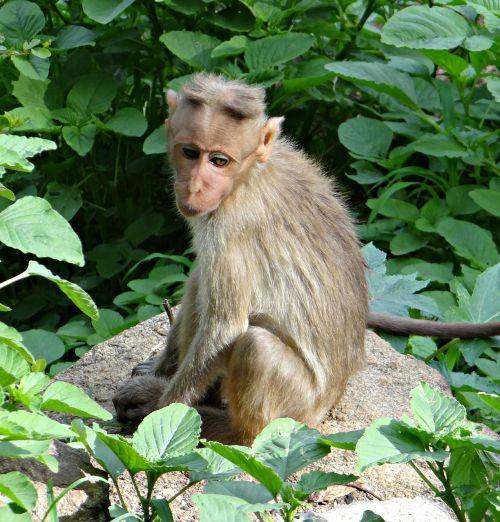 bonnet macaque macaca radiata macaque