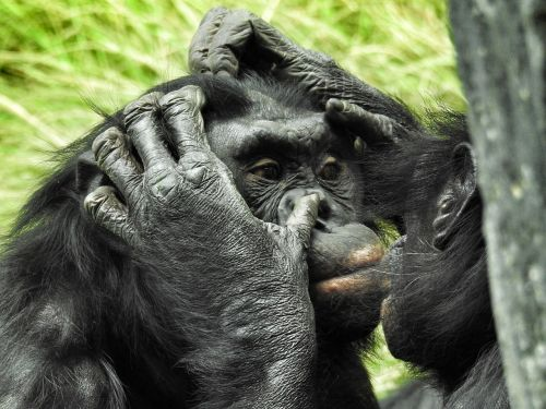 bonobo san diego zoo mammal