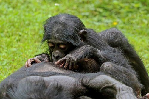 bonobos ape primates
