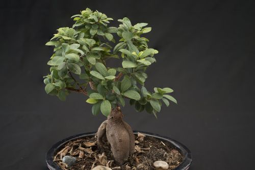 bonsai smaller tree potted plant