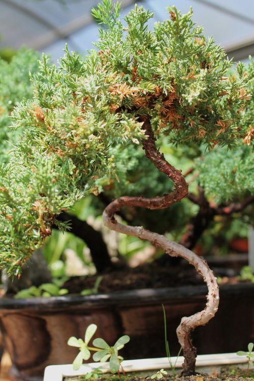 bonsai tree ornamental tree plant