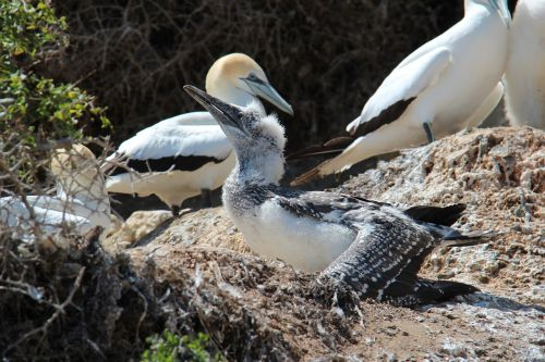 boobies birds sulidae