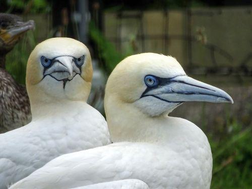 boobies northern gannet sea birds