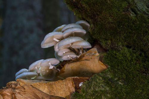 book schleiml oyster mushroom mushroom wood fungus