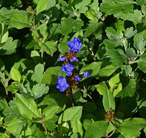 borage flower herb
