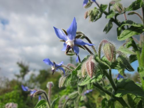 borago officinalis borage starflower