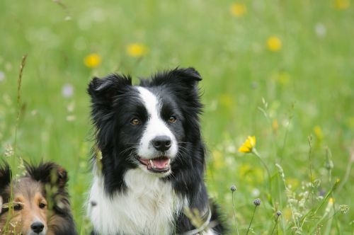 border collie sheltie dog