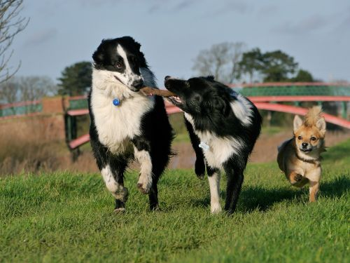 border collie dogs playing happy dogs