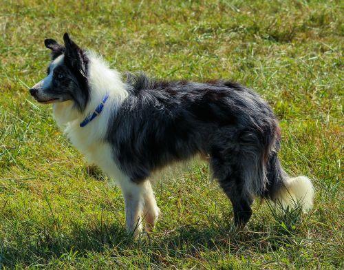 border collie herding dog canine