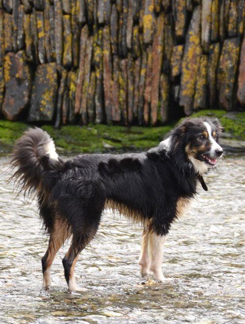 sienos kolis,šuo,aviganis,kolis,trispalvis,naminis gyvūnėlis,gyvūnas,šunys,vanduo,žaisti