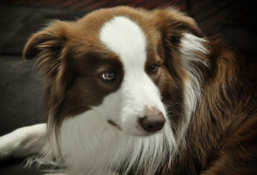 border collie dog quadruped