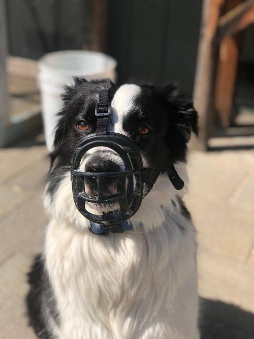 border collie  dog  dog sit