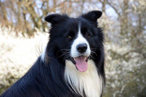 border collie  close up  purebred dog