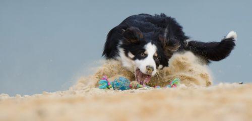 border collie dog play