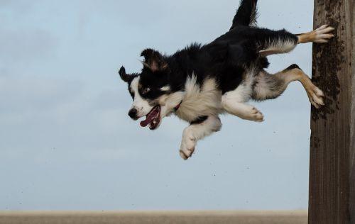 border collie dog trick dog show trick